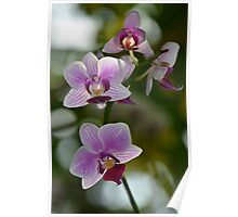 Purple and White Orchid Spray Poster