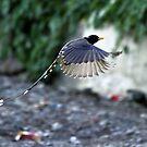 A Yellow-Billed Blue Magpie in flight. by debjyotinayak