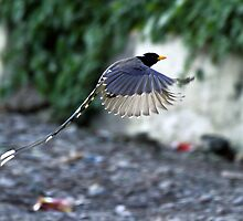 A Yellow-Billed Blue Magpie in flight. by debjyotinayak