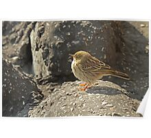 Meadow Pipit Poster