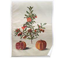 Johannes Simon Holtzbecher Punica granatum simp et pl Poster