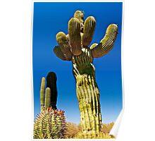 Giant Saguaro Cactus - Sonora, Mexico  Poster