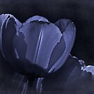 Misty blue fantasy tulip by Celeste Mookherjee