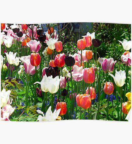 Tulip dreamtime Poster