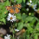Pretty Little Orange Butterfly on White Flower by Paula Betz