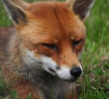 Sly fox by yampy