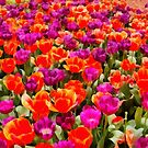 Tulips by Eve Parry