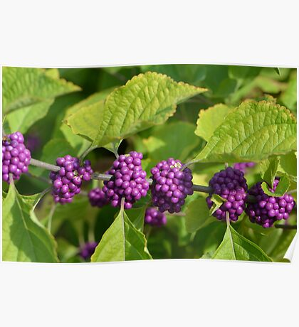 Beautyberries - A beautiful Rich Purple Berry Poster