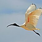 Ibis in flight by STHogan
