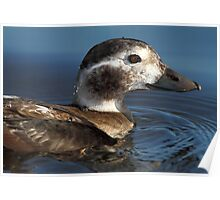The Short End Of A Long-Tailed Duck  Poster