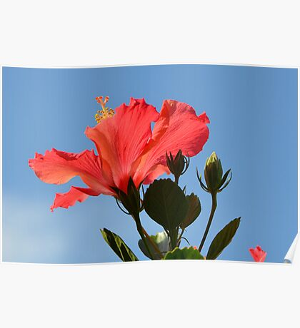 Coral Hibiscus Flower Reaching for the Sky Poster