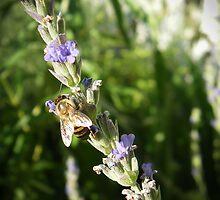 Lavender Bee by Alila Hofmeyr