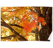 Fall Maple in All its Glory Poster