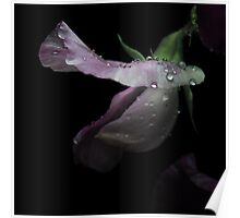 Sweet Pea with rain Drops Poster