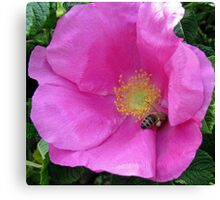 An English Rose and an Italian Bee  Canvas Print
