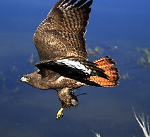 Red Tail Flight With Prey by DARRIN ALDRIDGE