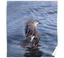 Duck ~ Western Australia Poster