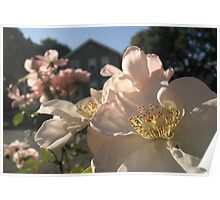 Wild roses I've raised Poster