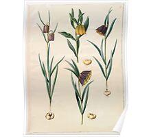 Johannes Simon Holtzbecher Fritillaria meleagris Fritullaria lutea eller Fritullaria latifolia var lutea Fritillaria pyrenaic Poster