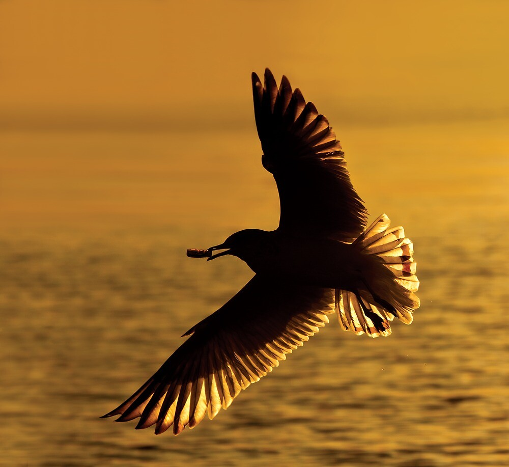 Ring-billed Gull Silhouette. by Daniel Cadieux