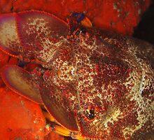 Pink Slipper Lobster,Bernier Island by peterbeaton