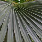 Fan palm by abbycat