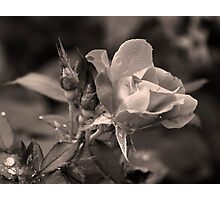 Rose of Hard Knocks Photographic Print