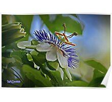 Junette's Passiflora Poster