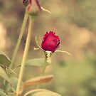 Rose Delight-iPhone by Katayoonphotos