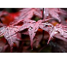Red Acer Photographic Print