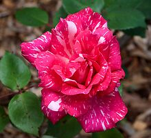 Pink and  white variegated rose by TonySlattery