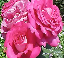 3 Pink Roses... by Photos55
