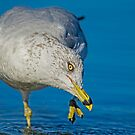 Grooming Gull  by Daniel  Parent
