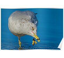 Grooming Gull  Poster