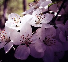 Cherry Blossom ~ Floral Photography by Sabine Jacobs