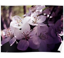 Cherry Blossom ~ Floral Photography Poster