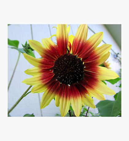 Red and Yellow Sunflower Photographic Print