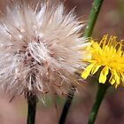 Dandelions: Life Stages by Laurel Talabere