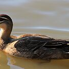 Handsome Duck  by Margaret Stanton