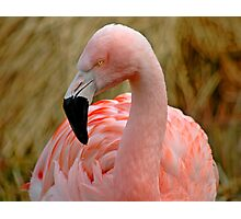 Flamingo 1 Photographic Print
