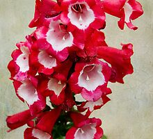 Red and White Penstemon by Gerda Grice