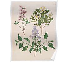 Johannes Simon Holtzbecher Syringa x persica Philadelphus coronarius Syringa vulgaris Poster