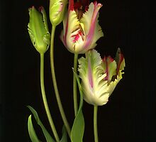 Parrot Tulips by Barbara Wyeth
