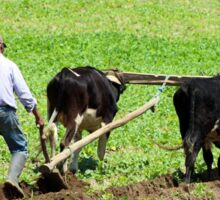 Using Oxen to Plow a Field Sticker