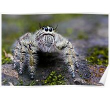 Hairy Jumping Spider Poster