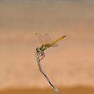 Dragonfly by MONIGABI