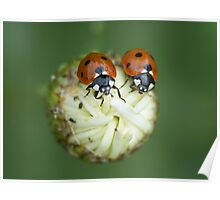 two ladybugs on marguerite Poster