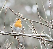 Robin by DEB VINCENT