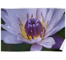 Purple lily Poster