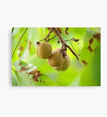 Magnolia Tree Fruit Canvas Print
